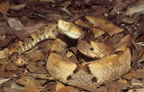 Cooper head Snake